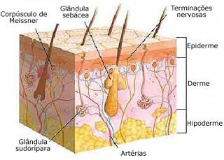 Camadas da Pele - Hidratação Facial